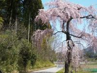 馬場 しだれ桜